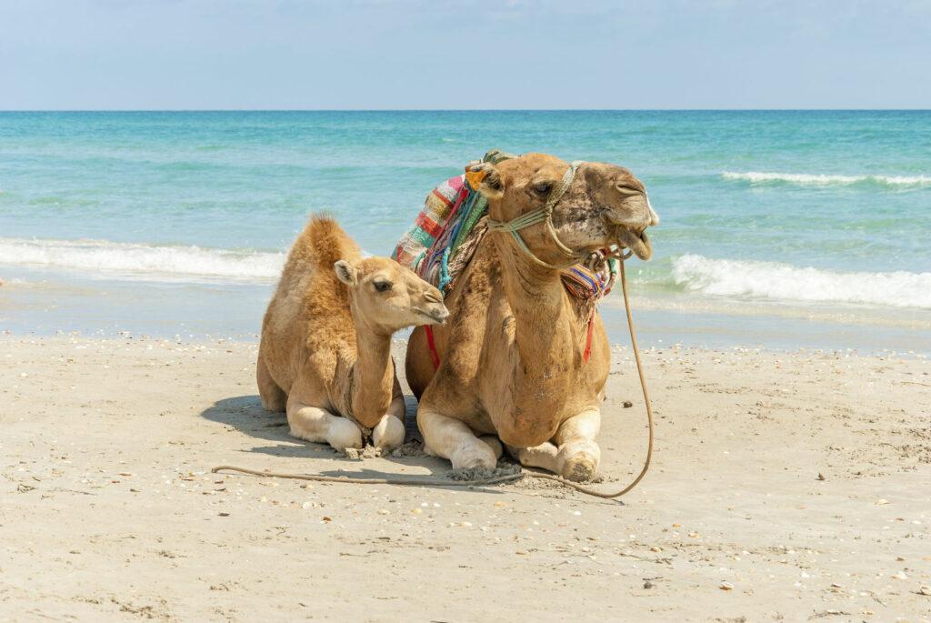 Dromadaire sur la plage - tunisie