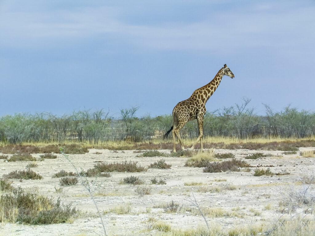 circuit Namibie - faune, Le Voyaging